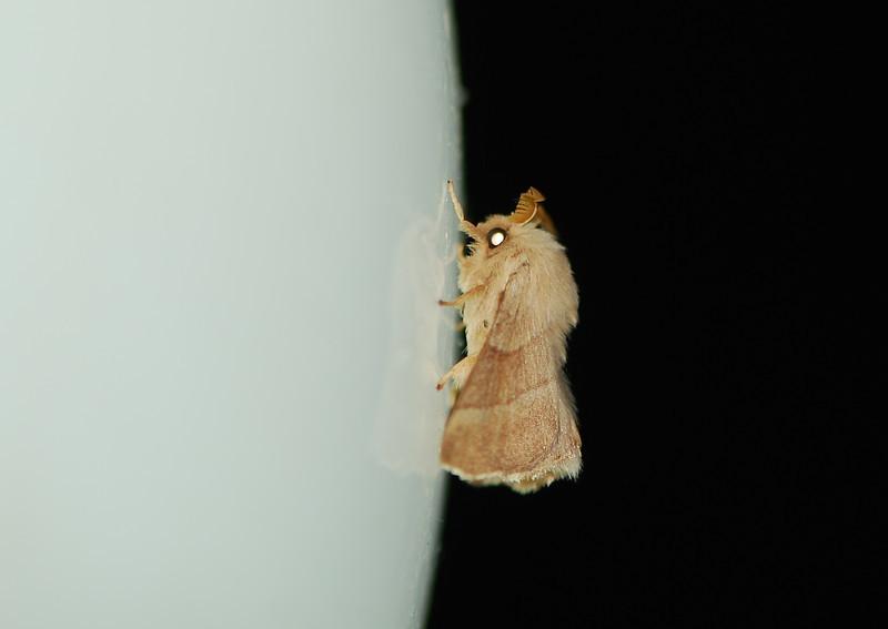 Silk Moth, Camargue South of France 2009 ak