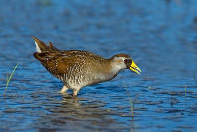 Marsh dwelling bird's