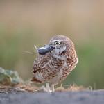 Davis -  Owls