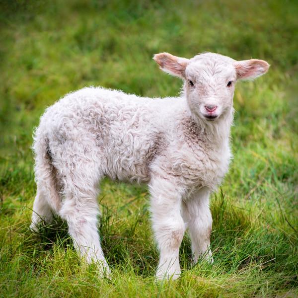 Little Lamb, Sea Ranch, California