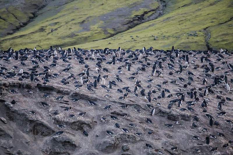 Chinstrap Penguin colony on Deception Island