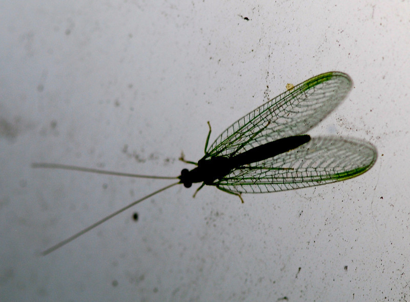 Green Lacewing, Camargue 2009 by A.K.
