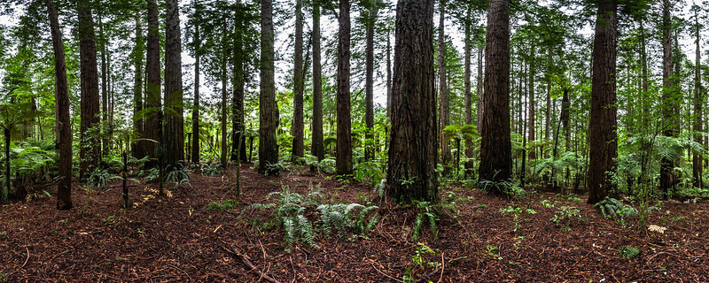 Sequoia Sempervirens and Tree Ferns - The Redwoods