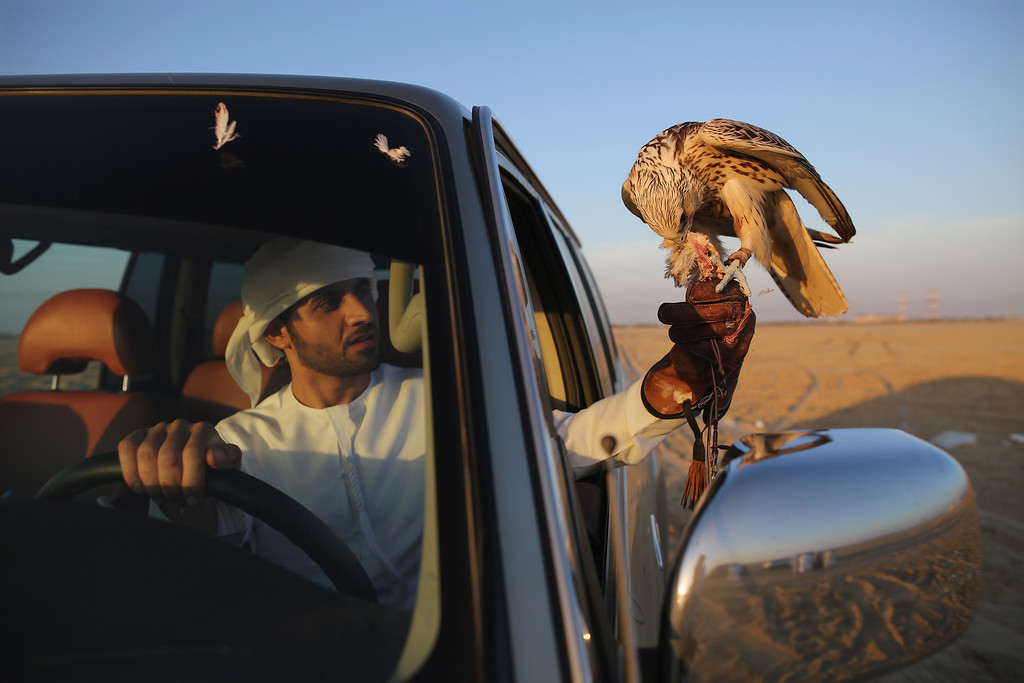 . A man drives back from a kill with his falcon on February 3, 2015 in Abu Dhabi, United Arab Emirates. (Photo by Dan Kitwood/Getty Images)