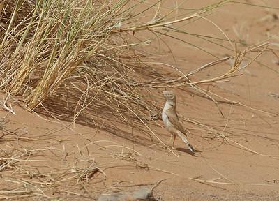 Saharankääpiökerttu (Sylvia deserti)