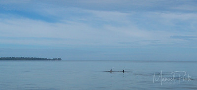Dolphins swimming off the Gandoca Coast near the Sixaola River