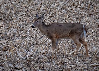 04-10-2019-deer