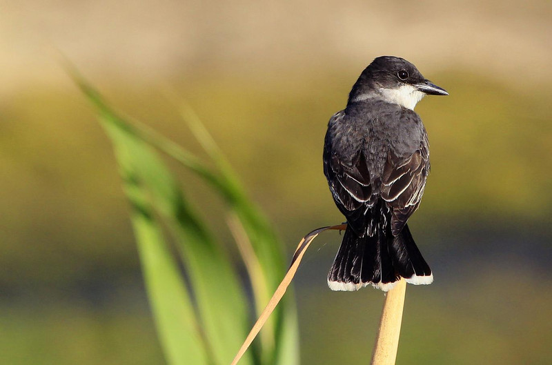 Eastern Kingbird, May 2011, Anahuac NWR, Texas