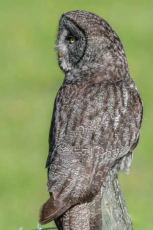 6-6-17 Great Gray Owl Hunting II
