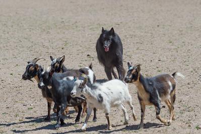 BSCA Second Annual Herding Trials 06-15-18