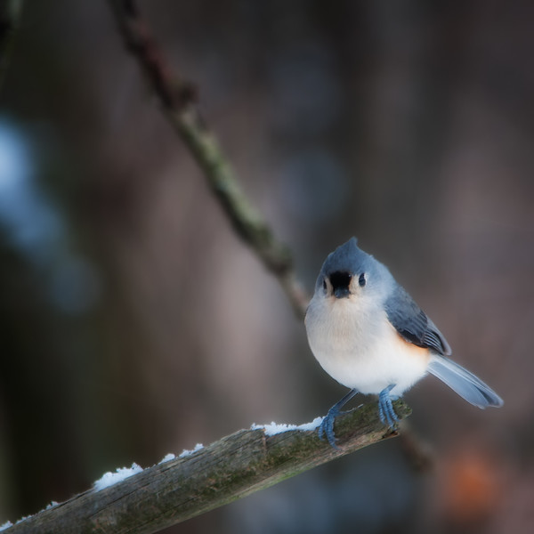 Tufted titmouse 2.jpg