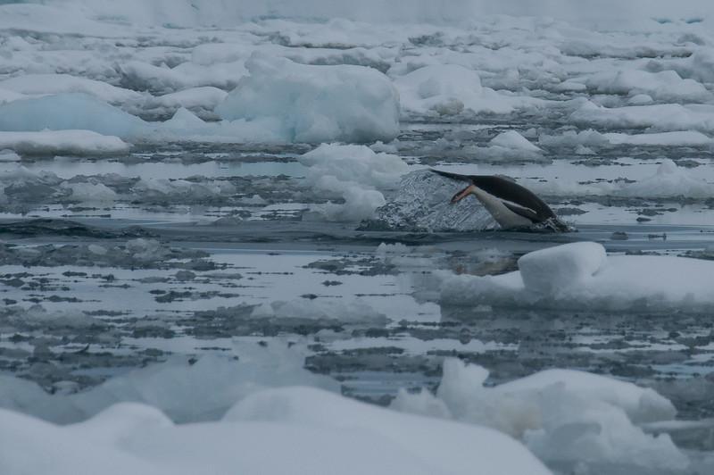 Penguin diving in Pleneau Bay, Antarctica