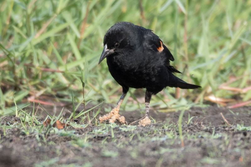 Male Red-Winged Blackbird with dirty feet.