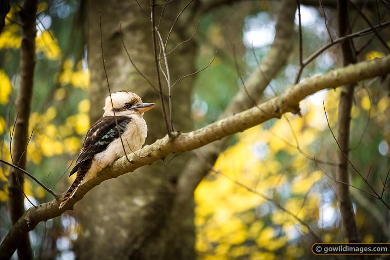 Kookaburra in a maple tree, Pirianda Garden, Dandenongs