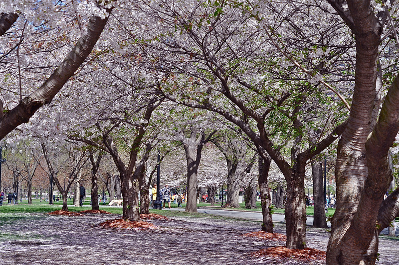 A canopy of blooming trees in Boston Public Garden