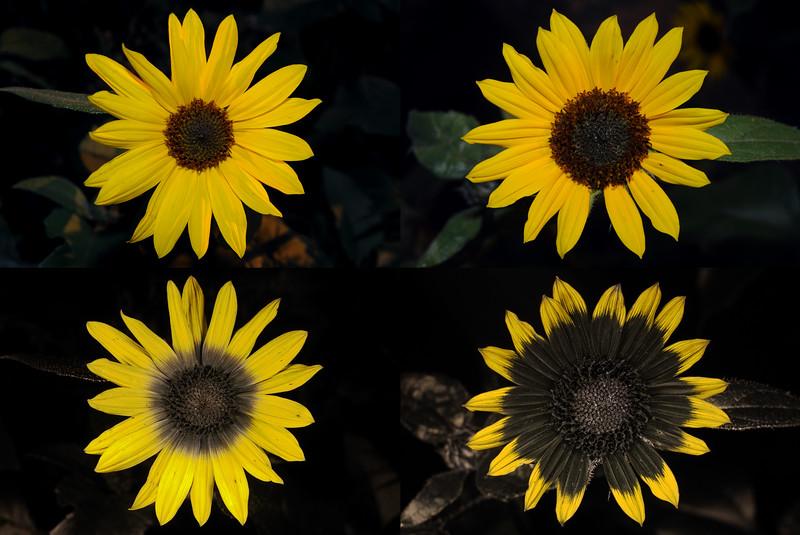 Two Sunflowers VIS-UV.jpg