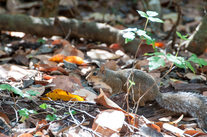 Grey Squirrel at Lovers Key Park