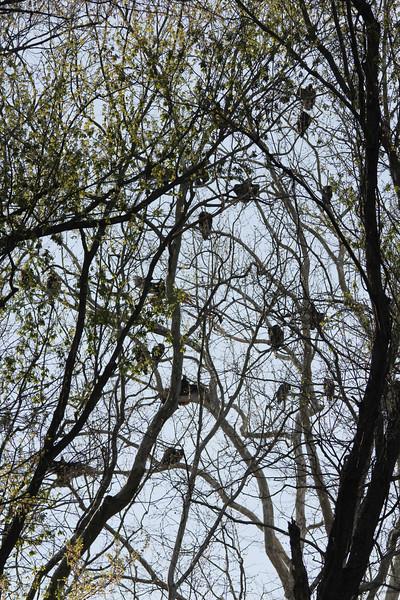 Turkey Vultures {Roost) @ Castlewood SP