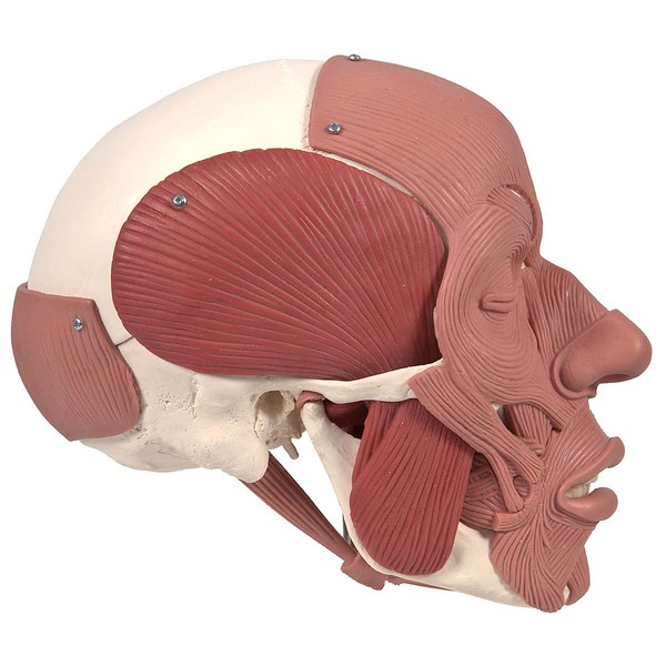img_A300_Skull-with-Facial-Muscles_3.jpg