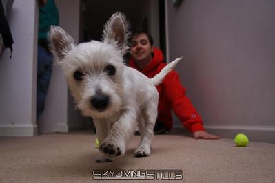 Cooper the Westie Puppy