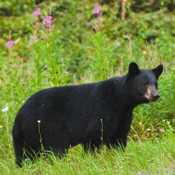 Black Bear Dempster.jpg
