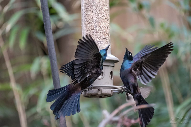 Grackles Jousting
