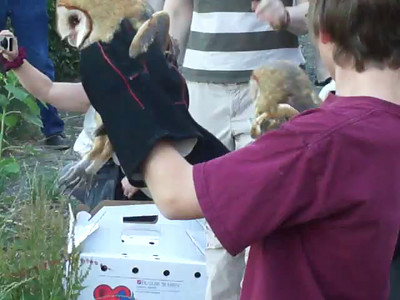 Four Barn Owls Rehabbed Released VIDEOS