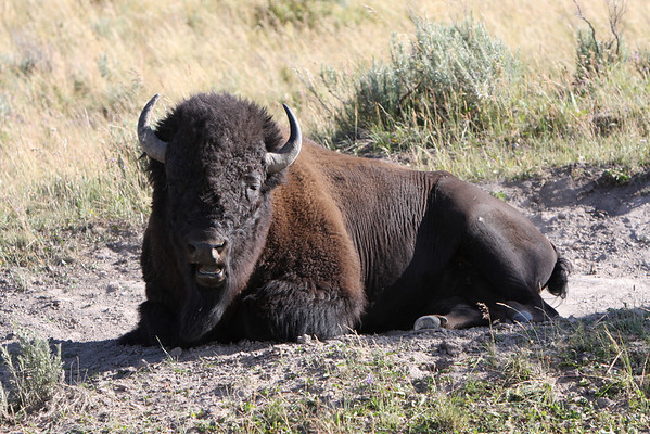 Real Buffalo of West Yellowstone