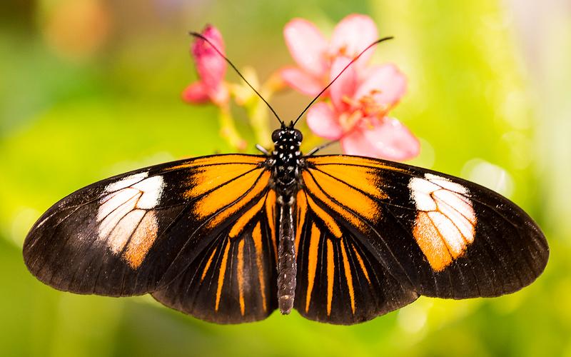 Brown Clipper Butterfly.jpg
