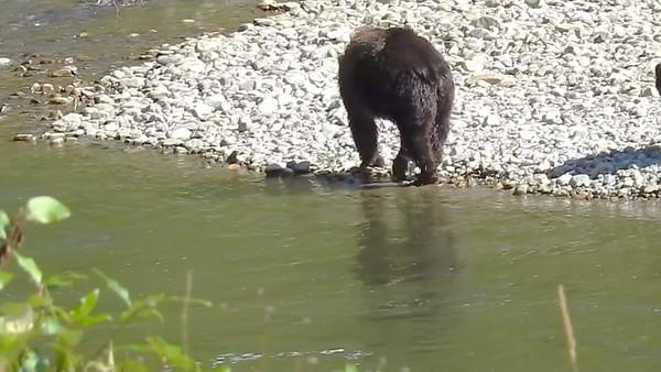 9-30-17 Video - Bella Coola Grizzly Bears - Next Generation