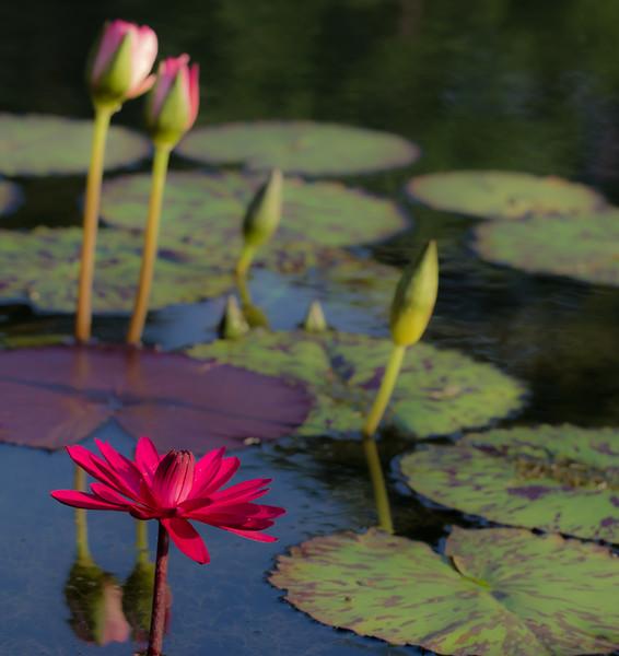 Lily  Pond 40