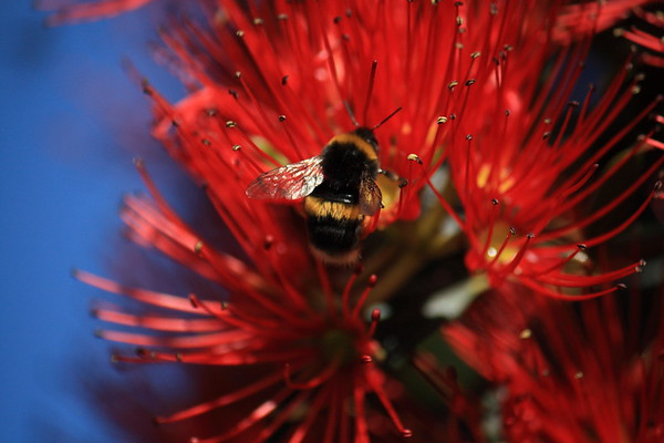 Bumble bee, Bombus terrestris, on Southern Rata in New Zealand
