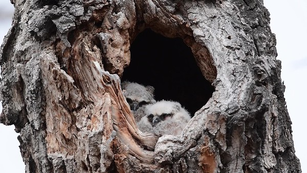 4-1-17 **Video - Great Horned Owlets - The Trees Have Eyes