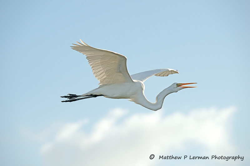 Great Egret  or Great White Egret