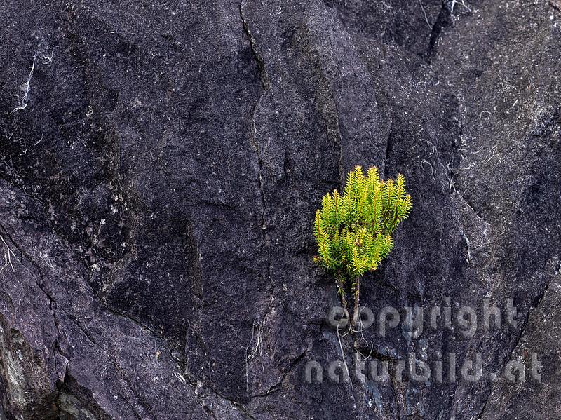 16AFL-5-09 - Pflanze am Lavafelsen
