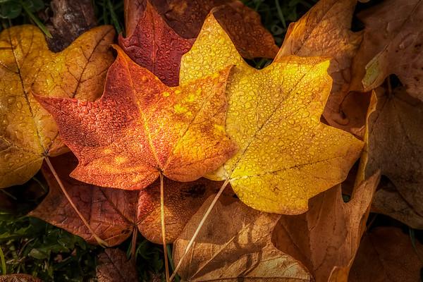 Dew on Autumn Leaves - $8