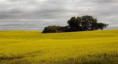 Canola, Wind Turbines and Old Buildings