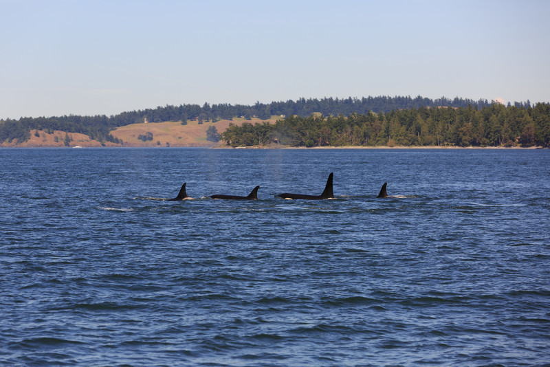 2013_06_04 Orcas Whale Watching 458.jpg