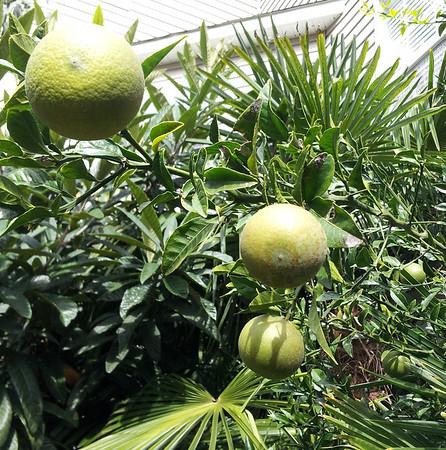 Panama John's Hardy palms, Eucalytpus and hardy citrus update Oct 17 2013