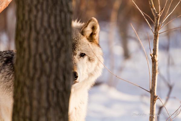 Lakota Wolf Preserve Spring 2011