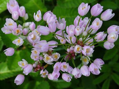 Allium roseum ssp.roseum.jpg