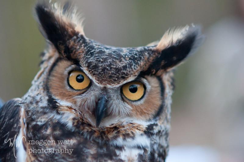Great Horned Owl Release_3151.jpg