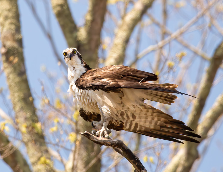 Male Osprey - Oh Yes! I see you down there!