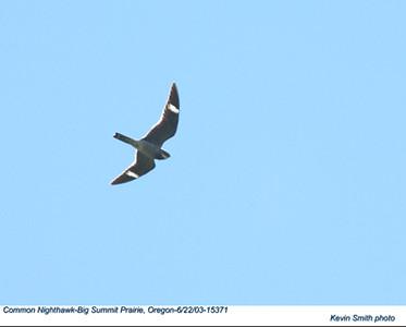CommonNighthawk15371.jpg