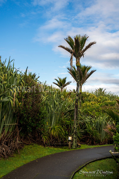 Punakaiki Nikau palms