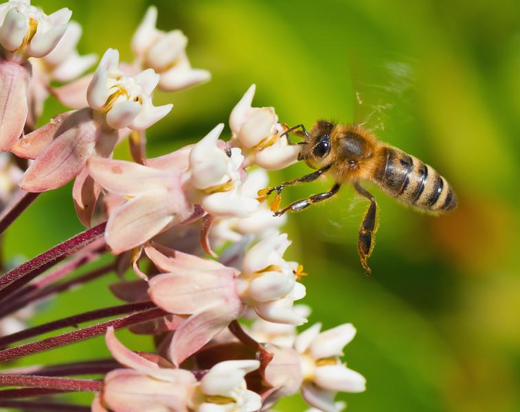 Honey Bee Visiting Milkweed Flowers