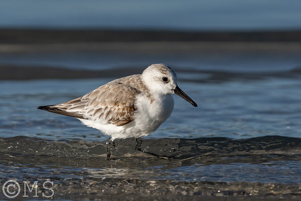 Sanderling Image Gallery