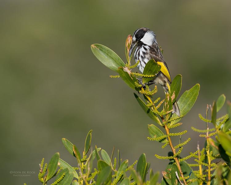White-cheecked Honeyeater, Woolgoolga, NSW, Aus, Aug 2017-1.jpg