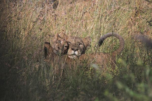 Big Cats (Wild)