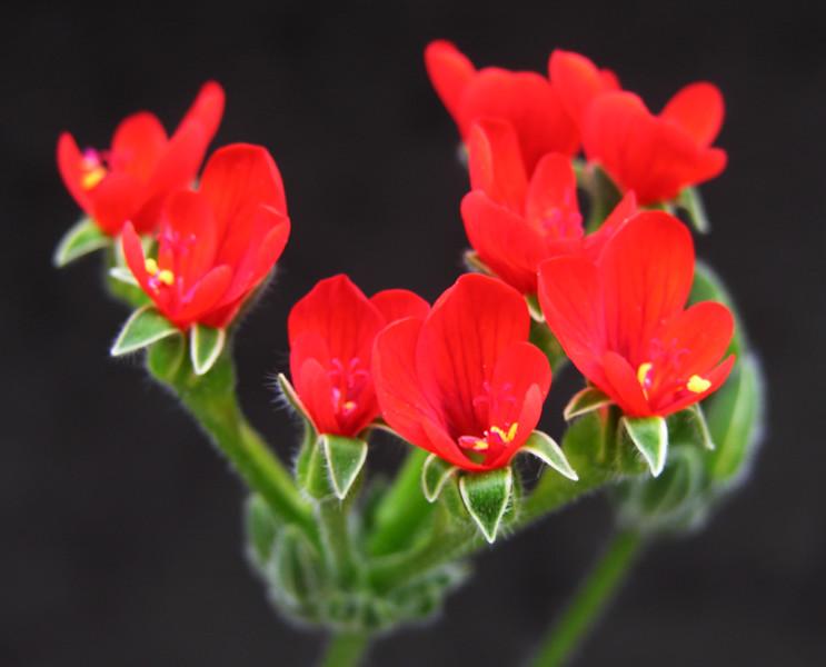 Pelargonium fulgidum flowers